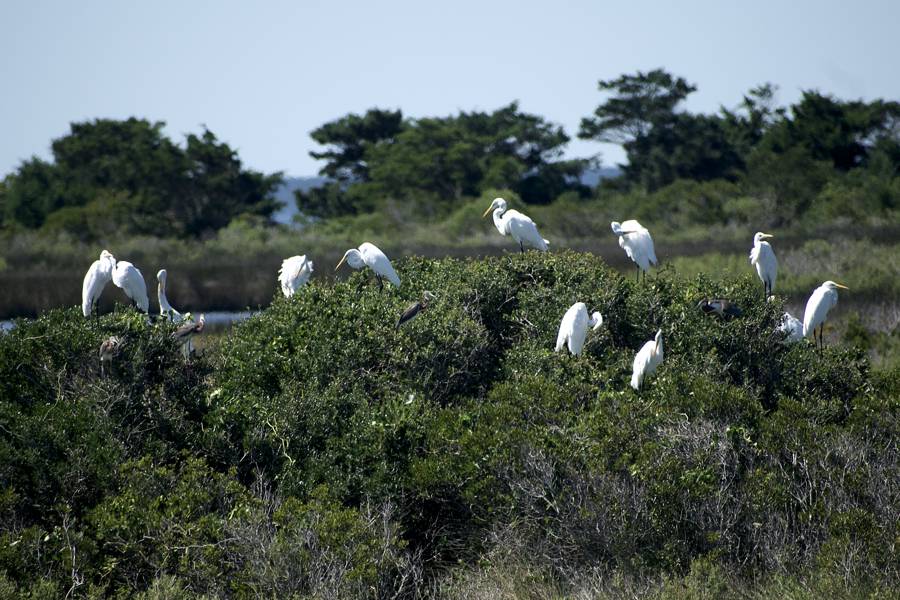 Great egrets on a pocosin at Pea Island National Wildlife Refuge.