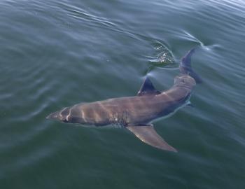 great white shark swimming in water
