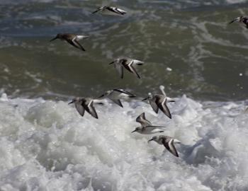 Sandpipers in Flight on the Kitty Hawk beach.