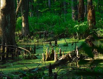 Verdant swamp and marsh line the Birch Lane Trail in Kitty Hawk Woods.