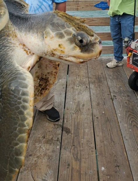 Juvenile Kemp's Ridley after being rescued from the surf.