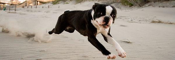 black and white boston terrier dog running on beach